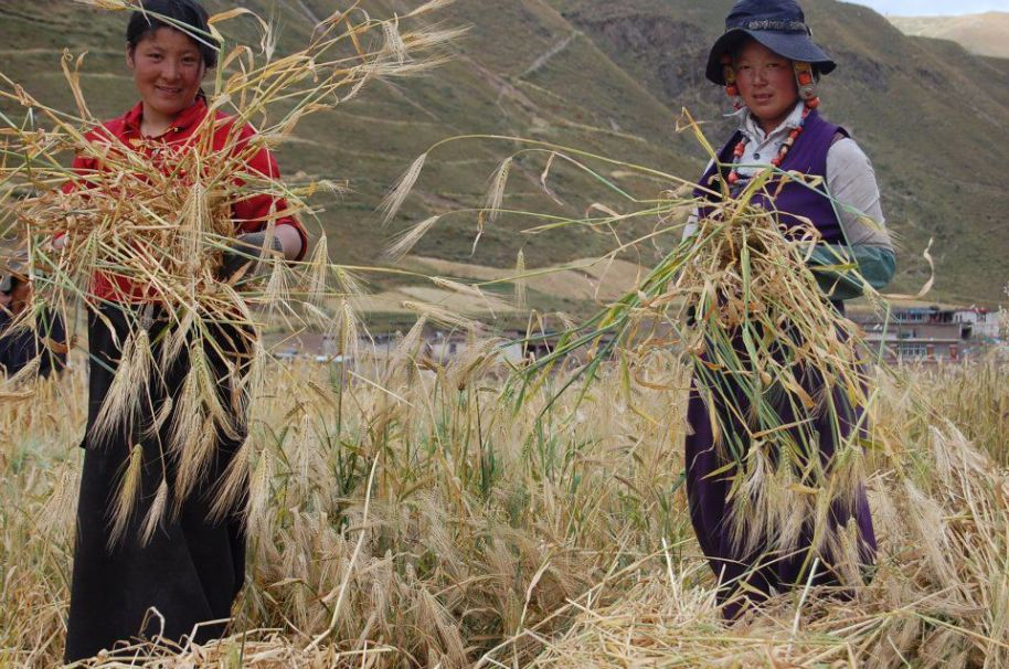 Tibetan women in Kyungpo gathering wheat closeup