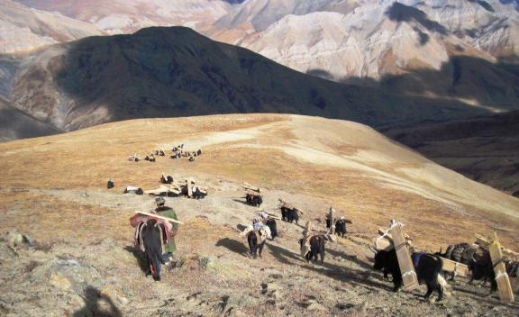Yaks carrying wood in Dolpo