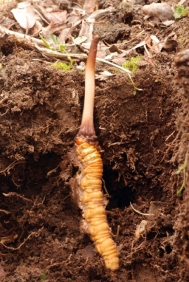 cordyceps-in-ground-exposed